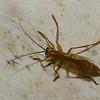 Ichneumonidae sp.<br /> 3010, Rancho Naturalista, Costa Rica, 16 mars 2015