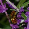Bombus ephippiatus, Bombini, Apidae, Bumble bee Costa rica<br /> 3196, Savegre Mountain Lodge, Costa Rica, 17 mars 2015
