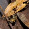 Aphaenogaster araneoides, Stenammini, Myrmicinae, Formicidae<br /> 2634, Rancho Naturalista, Costa Rica, 14 mars 2015