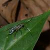 Ichneumonidae sp.<br /> 3836, Danta Corcovado Lodge, Puntarenas, Costa Rica, 22 mars 2015