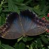Caligo memnon, Brassolini, Morphinae,  Nymphalidae, Owl Butterfly<br /> 4065, La Paz Waterfalls Gardens, Costa Rica, 27 mars 2015