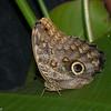 Caligo memnon, Brassolini, Morphinae,  Nymphalidae, Owl Butterfly<br /> 4083, La Paz Waterfalls Gardens, Costa Rica, 27 mars 2015