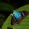 Astraptes fulgerator, Eudaminae, Hesperiidae<br /> 2638, Rancho Naturalista, Costa Rica, 14 mars 2015