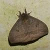 Automeris sp.  Hemileucini, Saturnidae<br /> 2759, Rancho Naturalista, Costa Rica, 14 mars 2015