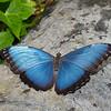 Morpho paleides,  Morphinae, Nymphalidae, Blue Morpho Butterfly<br /> 4093, La Paz Waterfalls Gardens, Costa Rica, 27 mars 2015