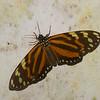 Dysschema angulosa, Arctiinae, Erebidae<br /> 3094, Rancho Naturalista Lodge, Costa Rica, 16 mars 2015