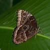 Morpho paleides,  Nymphalidae, Blue Morpho Butterfly<br /> 4071, La Paz Waterfalls Gardens, Costa Rica, 27 mars 2015