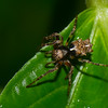 Wagneriana sp. femelle,  Araneidae, Araignee du Peru<br /> 0797, Amazonia Lodge Trails, Manu National Park, Peru ,20 septembre 2014