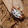 Gasteracantha cancriformis,  Araneidae, Spiny crablike orb weavers<br /> 9661, Pantanos, Lima, Peru , 9 septembre 2014