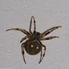 Araignee du Perou, Araneidae sp. <br /> 0157, Wayquecha, Manu Road, Peru , 17 septembre 2014