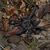 Cyriocosmus sp,  Theraphosidae, Tarantule du Perou<br /> 9929, Cuzco, Peru ,16 septembre 2014