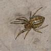 Araignee du Perou,  Araneidae sp<br /> 9904, Aqua Calientes, Peru ,15 septembre 2014