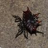 Gasteracantha cancriformis,  Araneidae, Spiny crablike orb weavers<br /> 9656, Pantanos, Lima, Peru , 9 septembre 2014