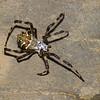 Argiope argentata,  Araneidae, Silver Argiope <br /> 0506, Lower Manu Road, Peru ,19 septembre 2014