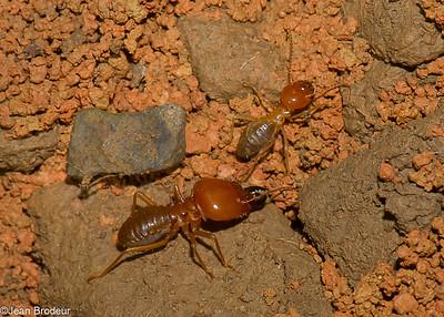 Autres familles d'insectes du Perou
