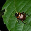 Canthon luteicollis. Scarabaeinae, Dung rolling scarab beetle<br /> 2209, CICRA Trails ,Manu National Park, Peru ,25 septembre 2014