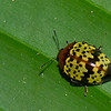 Iphiclus sp. Erotylidae , Pleasing Fungus Beetles<br /> 2086, CICRA Trails ,Manu National Park, Peru ,25 septembre 2014