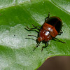 Triplax sp. Tritomini, Erotylidae, Pleasing Fungus Beetles<br /> 2125, CICRA Trails ,Manu National Park, Peru ,25 septembre 2014