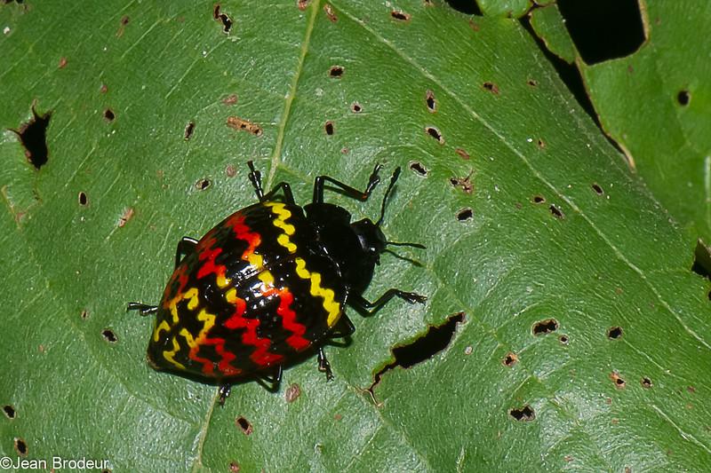 Erotylus sp, Cucujoidea,  Erotylidae, Zigzag fungus beetle,  <br /> 2090, CICRA Trails  ,Manu National Park, Peru ,25 septembre 2014