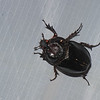 Enema pan, Dynastinae, Scarabaeidae, Rhinoceros beetle<br /> 1161.1 , Amazonia Lodge ,Manu National Park, Peru ,21 septembre 2014