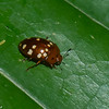 Iphiclus sp. Erotylidae , Pleasing Fungus Beetles<br /> 1779, Amazon Manu Lodge Trails ,Manu National Park, Peru ,<br /> 24 septembre 2014