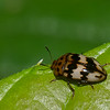 Mycotretus sp. Erotylidae,  Pleasing Fungus Beetles<br /> 2081, CICRA Trails ,Manu National Park, Peru ,25 septembre 2014