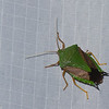 Edessa sp. Edessinae,  Pentatomidae , Shield bug<br /> 1599, Amazon Manu Lodge ,Manu National Park, Peru ,<br /> 22 septembre 2014