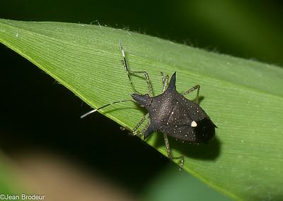 Heteropteres du Perou; Pentatomoidea,  Reduviidae, Coreidae et autres