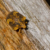 Tetyra sp. Pachycorinae, Scutelleridae, Shield-backed Bugs<br /> 2169, CICRA Trails ,Manu National Park, Peru ,25 septembre 2014