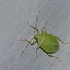 Chlorocoris sp. Pentatominae,  Pentatomidae du Perou, True bugs<br /> 2029, CICRA ,Manu National Park, Peru ,24 septembre 2014