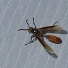 Apoica thoracica,  Polistinae, Vespidae , Paper wasps<br /> 1147, Amazonia Lodge ,Manu National Park, Peru ,21 septembre 2014