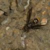 Ancistrocerus sp,  Eumininae, Vespidae <br /> 0039, Wayquecha, Manu Road, Peru , 17 septembre 2014
