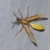 Apoica flavissima,  Epiponini,  Polistinae, Vespidae , Nocturnal Social Wasp<br /> 1986, CICRA ,Manu National Park, Peru ,24 septembre 2014