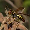 Polistes sp.  Polistinae, Vespidae , Paper wasps<br /> 9699, Santa Eulalia Valley, Lima, Peru, 10 septembre 2014