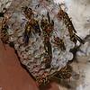 Nid de Polistes sp.  Polistinae, Vespidae , Paper wasps<br /> 9765, Chosica, Lima, Perou, 11 septembre 2014