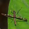 Nymphe  Paramastax sp, Paramastacinae, Eumastacidae, Orthoptera<br /> 1273, Amazon Manu Lodge ,Manu National Park, Peru ,22 septembre 2014