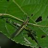 Paramastax sp, Paramastacinae, Eumastacidae, Orthoptera<br /> 0570, Lower Manu Road, Peru ,19 septembre 2014