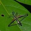 Paramastax nigra , Paramastacinae ,Eumastacidae, Orthoptera<br /> 2234, CICRA Trails ,Manu National Park, Peru ,25 septembre 2014