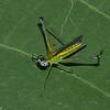Paramastax sp. Eumastacidae , Monkey hopper<br /> 0625, Lower Manu Road, Peru ,19 septembre 2014