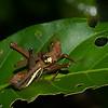 Pseudomastax personata, Pseudomastacinae, Eumastacidae, Orthoptera, Monkey hopper<br /> 0974, Amazonia Lodge Trails, Manu National Park, Peru ,20 septembre 2014