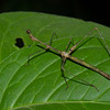 Apioscelis bulbosa, Phasme  du Perou, Proscopiidae,  Stick insect    ,  Parasité par un  tique<br /> 1128, Amazon Manu Lodge ,Manu National Park, Peru ,21 septembre 2014
