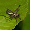 Pseudomastax sp., Pseudomastacinae, Eumastacidae, Monkey hopper<br /> 0605, Lower Manu Road, Peru ,19 septembre 2014