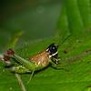 Nymphe Acrididae du Perou, Sitalces sp.<br /> 2059, CICRA Trails ,Manu National Park, Peru ,25 septembre 2014