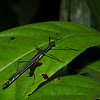 Pseudophasma sp. Proscopiidae,  Phasme du Perou,   Stick  grasshopper<br /> 2065, CICRA Trails ,Manu National Park, Peru ,25 septembre 2014
