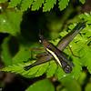 Pseudomastax sp., Pseudomastacinae, Eumastacidae, Monkey hopper<br /> 0497, Lower Manu Road, Peru ,19 septembre 2014