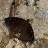 Nymphalidae sp.<br /> 1317, Amazon Manu Lodge ,Manu National Park, Peru ,22 septembre 2014