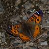 Junonia vestina, Nymphalidae, Andean Buckeye<br /> 0047, Wayquecha, Manu Road, Peru , 17 septembre 2014