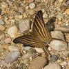 Marpesia chiron , Cyrestinae, Nymphalidae, Many-banded Daggerwing<br /> 1285, Amazon Manu Lodge ,Manu National Park, Peru ,22 septembre 2014