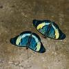 Panacea prola amazonica, Biblidinae,  Nymphalidae,  Red Flasher<br /> 1101, Amazon Manu Lodge ,Manu National Park,  Peru ,21 septembre 2014