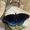 Nymphalidae sp.<br /> 1324, Amazon Manu Lodge ,Manu National Park, Peru ,22 septembre 2014